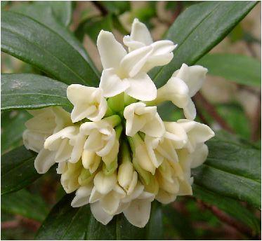 白色沈丁花(ジンチョウゲ)