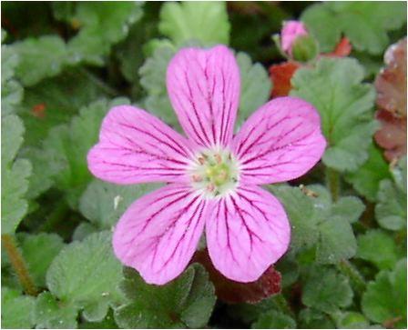 姫風露草(ヒメフウロウソウ)の花