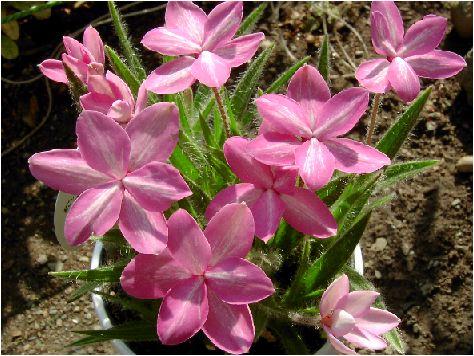 アッツ桜:舞姫の花