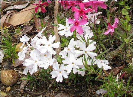 芝桜(白)(シバサクラ)の花