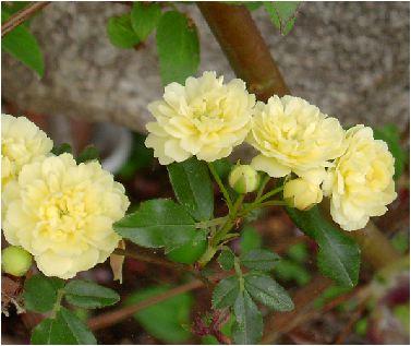 木香薔薇(モッコウバラ)の花