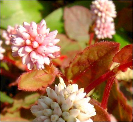 姫蔓蕎麦の花
