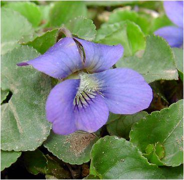 菫:すみれ(スミレ)の花