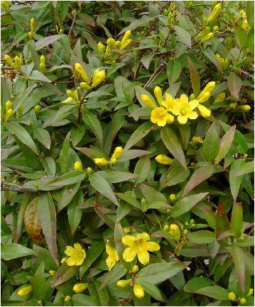 カロライナジャスミンの花