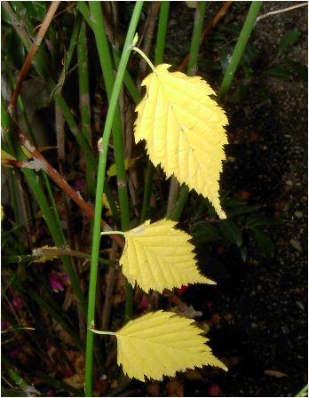 白山吹(シロヤマブキ)の紅葉