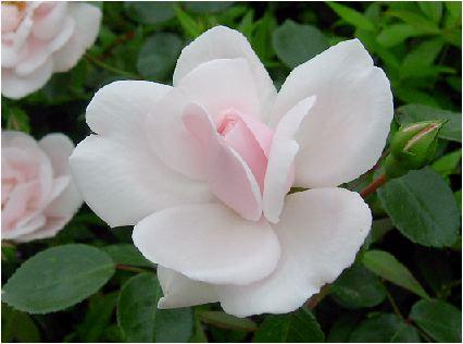 薔薇(バラ)の花<br />