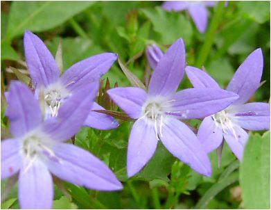 """カンパニュラ""""アルペン・ブルーの花"""