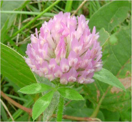 赤詰草(アカツメクサ) の花