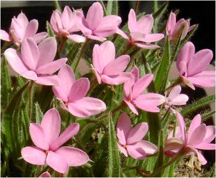 アッツザクラ(アッツ桜)_Rhodohypoxis(ロードヒポキシス)の花