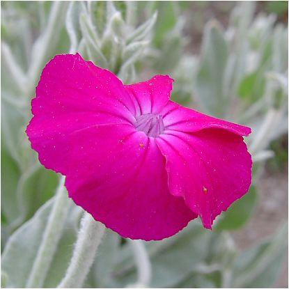 酔仙翁(スイセンノウ):フランネル草 の花