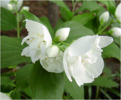 八重梅花空木(ヤエバイカウツギ)の花