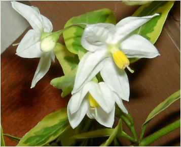 斑入り蔓花茄子(フイリツルハナナス)の花