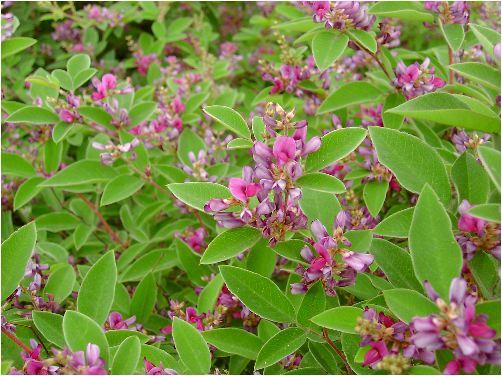 五月雨萩(サミダレハギ)の花