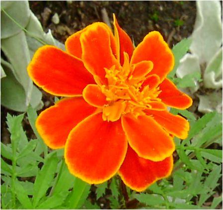マリーゴールド(Marigold )の花