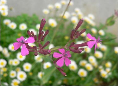 虫取撫子(ムシトリナデシコ)の花