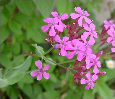 ムシトリナデシコ(虫取撫子) の花