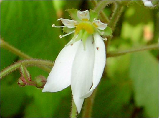 雪ノ下の花