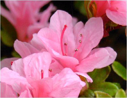 皐月(サツキ)の花
