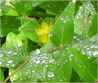 金糸梅(ヒペリカム)の花