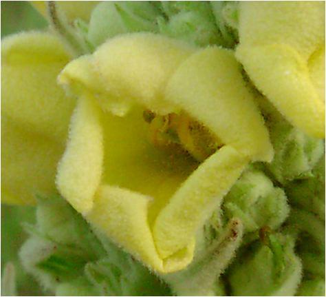 天鵞絨毛蕊花(ビロードモウズイカ)の花