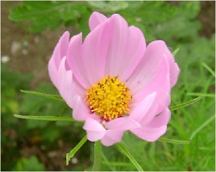 秋桜(コスモス・ピンク)の花