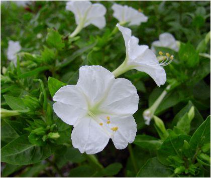 白粉花(オシロイバナ)