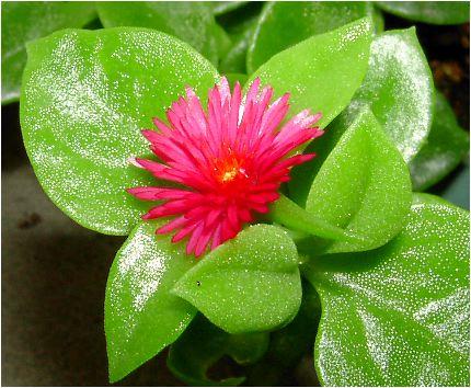 花蔓草(アプテニア)の花
