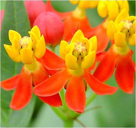 柳唐綿(ヤナギトウワタ)の花