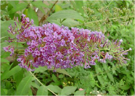 房藤空木(フサフジウツギ)の花