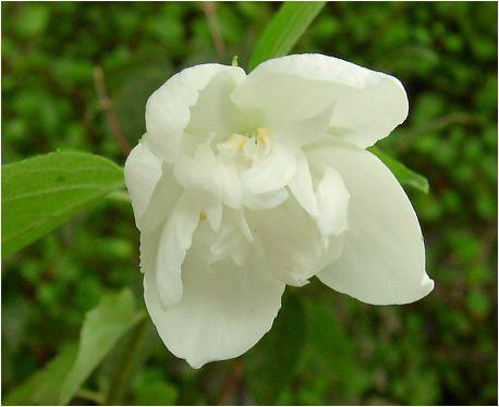 梅花空木(バイカウツギ)八重の花