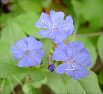 ブータン瑠璃菜莉(ルリマツリ)の花