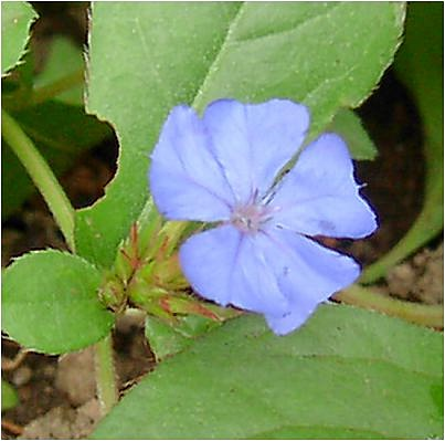 ブータン瑠璃菜莉(ルリマツリ) の花