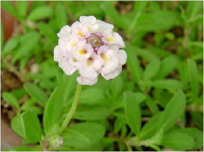 姫岩垂草(ヒメイワダレソウ)の花