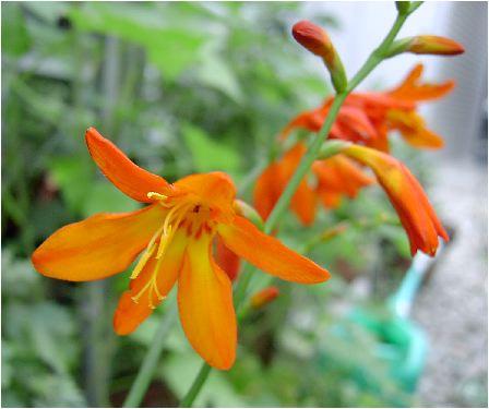 姫檜扇水仙(ヒメヒオウギスイセン)の花