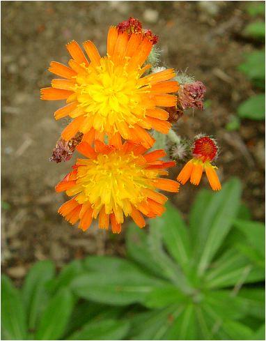 紅輪蒲公英(コウリンタンポポ)の花