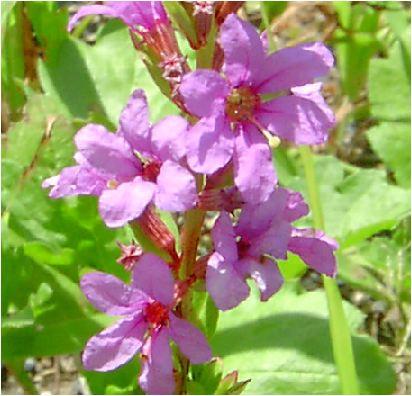 禊萩(ミソハギ)の花