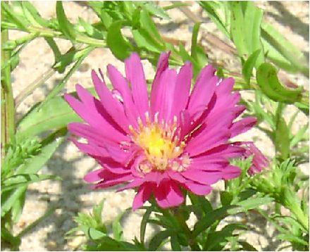 夏菊(キク)の花