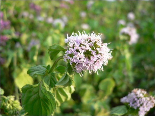 オーデコロンミントの花