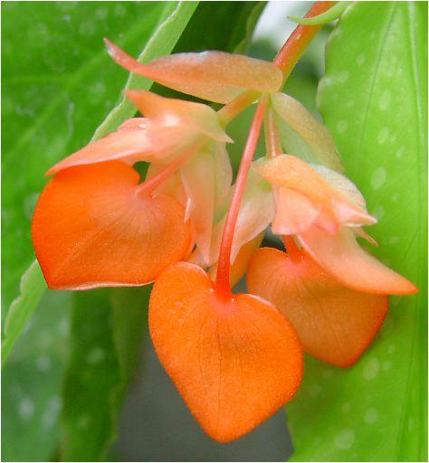 木立ベゴニアのオレンジ・ルブラ