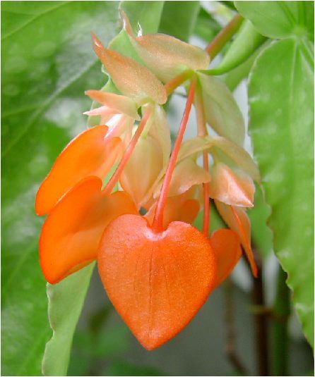 木立ベゴニア(コダチベゴニア)の花