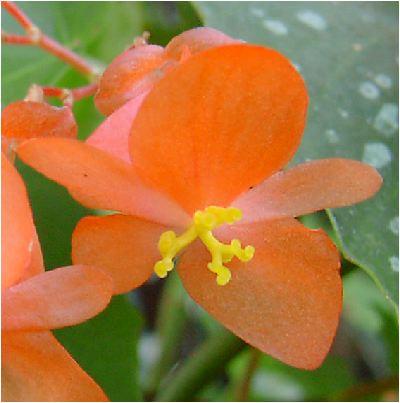コダチベゴニアの花