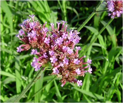 柳花笠(ヤナギハナガサ)の花
