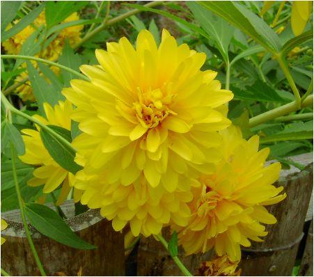 八重咲き大反魂草(ヤエザキオオハンゴンソウ)の花
