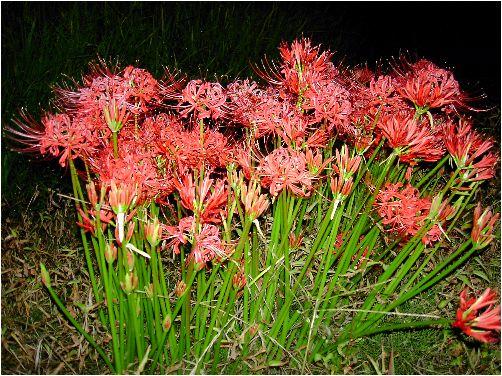 彼岸花(ヒガンバナ)の花