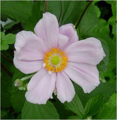 桃色の秋明菊(シュウメイキク)の花