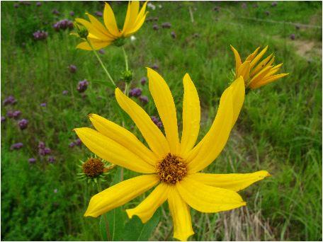 犬菊芋(イヌキクイモ)の花