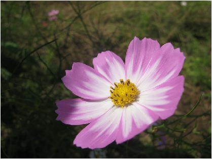 秋桜:絞り(コスモス)