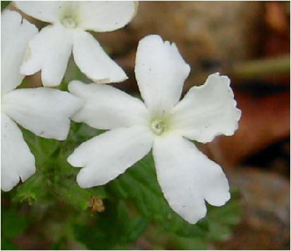 バーべナ(verbena)白の花