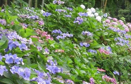 玉紫陽花のつぼみ