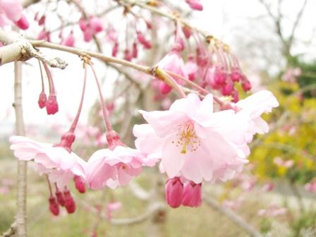 枝垂れ桜も咲き始めました♪